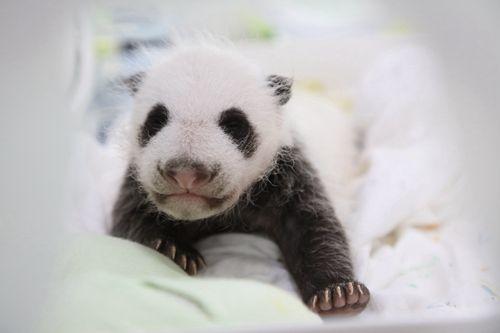 熊猫爪子简笔画图片