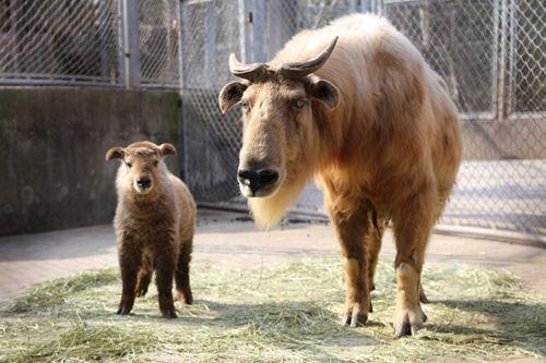 """野生动物园出生的熊猫宝宝""""花生"""",金丝猴宝宝""""奇奇"""",金毛羚牛和朱鹮宝"""