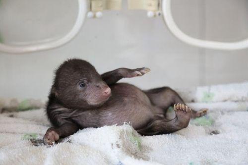 """帼带着前不久在上海野生动物园出生的熊猫宝宝""""花生"""""""