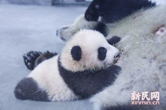 10月17日,备受关注的熊猫花生出生第一百天,自中秋节正式与游客见面以来,来看她的游客是络绎不绝。   上午九点,工作人员趁帼帼妈妈去隔壁喝水的时间,将花生抱进了育婴室,进行百日体检。在饲养员怀里的花生又长圆了一圈,电子秤上显示体重达5440克,放到婴儿床上时候,四肢也能撑起整个身体,体长增至64厘米。据饲养员介绍,现在的花生长势良好,每天除了吃和睡,又多了一项功课练习爬行。   据介绍,在花生睡足之后,她就会开启练爬模式,刚开始时主要靠挪动前行,短短的5厘米,她要花上1